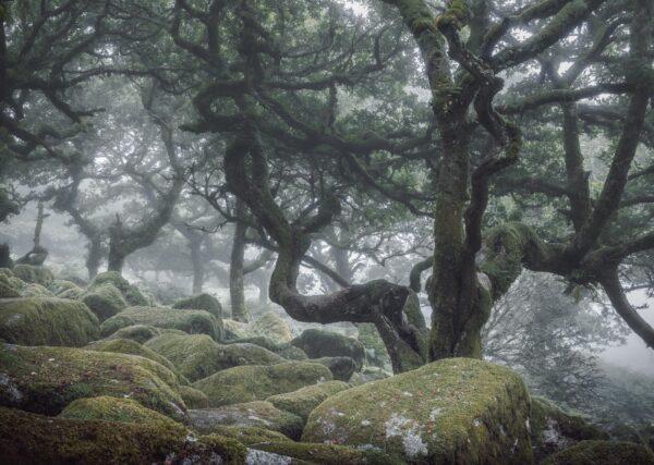 Wistman's Wood | Twisting Oak