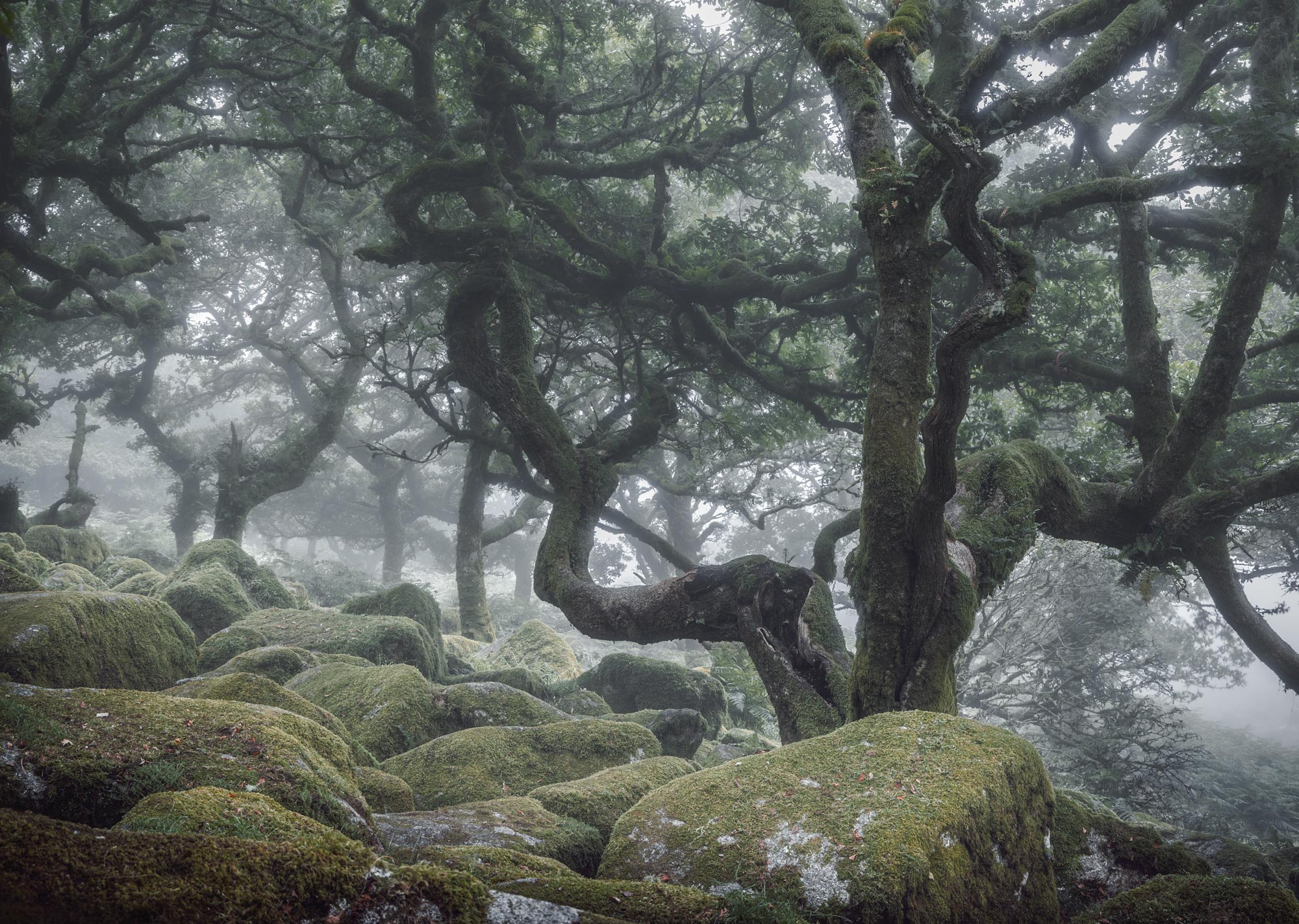 Wistman's Wood   Twisting Oak